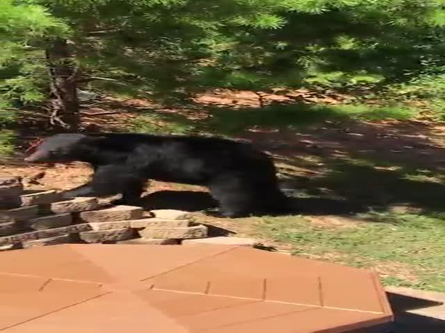 Медведь пришел на барбекю