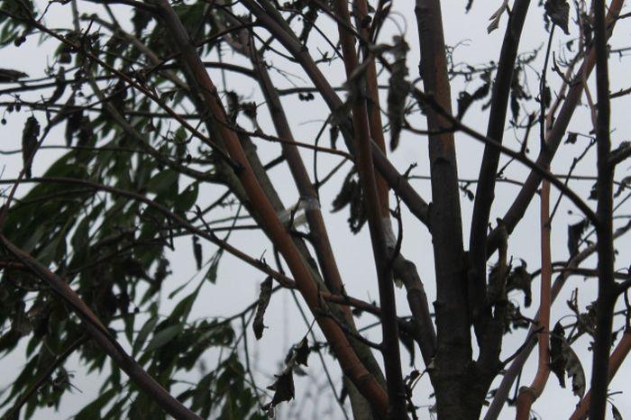 В Санкт-Петербурге засохшие деревья «оживили» с помощью веток и скотча (3 фото)