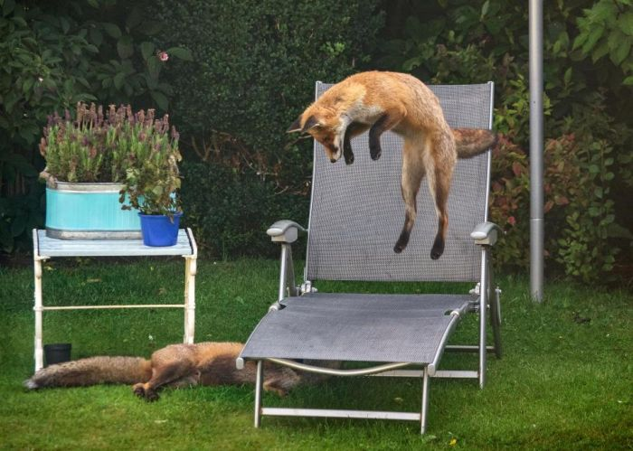 Игривые лисицы на заднем дворе (3 фото)