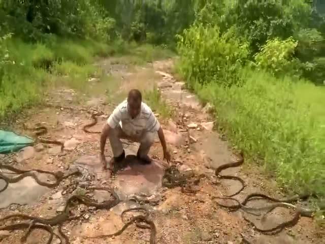 Змеелов выпускает на волю пойманных змей