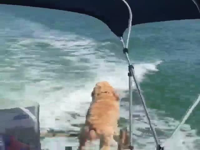 Пес гавкает на дельфина, сопровождающего катер
