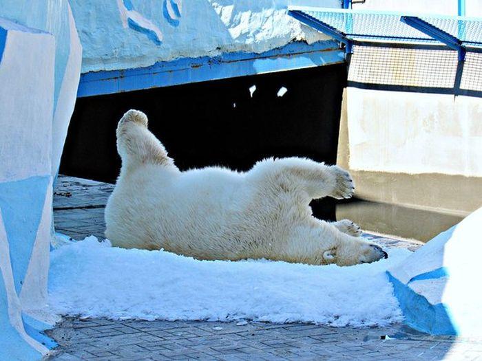 Белая медведица радуется снегу (3 фото + видео)