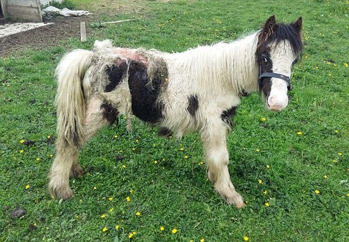 Спасенный жеребенок превратился в прекрасного коня (2 фото)