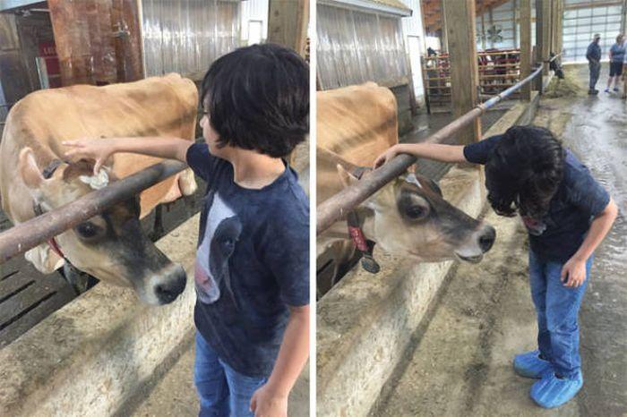 Коровы, которые похожи на собак (35 фото)