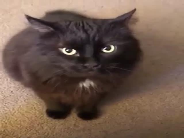 Агрессивный кот, который не приемлет слово «нет»