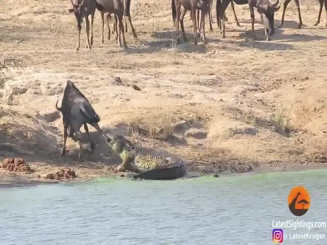 Бегемоты отбили антилопу у крокодила