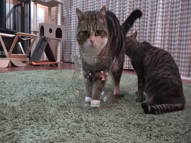 Кот пытается залезть в аквариум