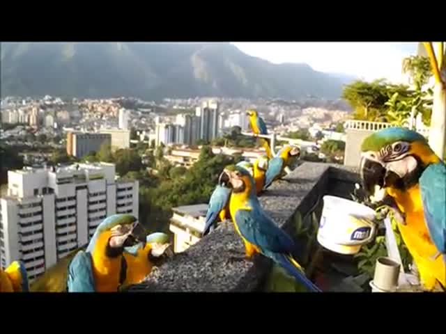 Дикие попугаи ара прилетели на обед