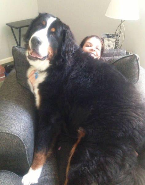 Крупные собаки тоже любят ложиться на своих хозяев (46 фото)