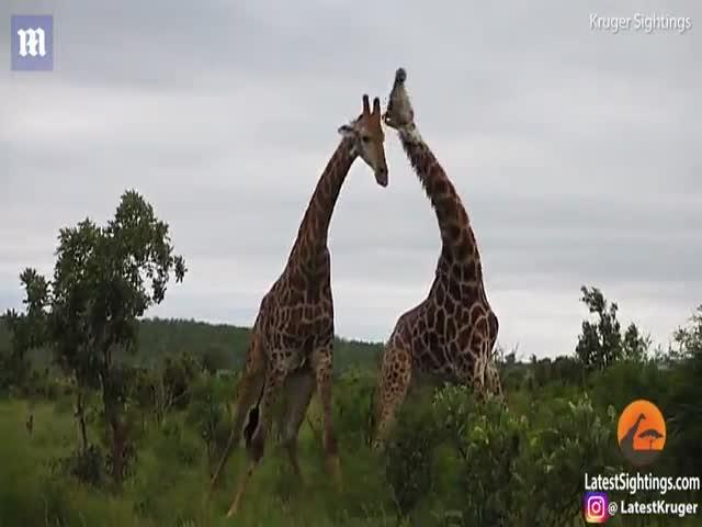 Битва жирафов за самку