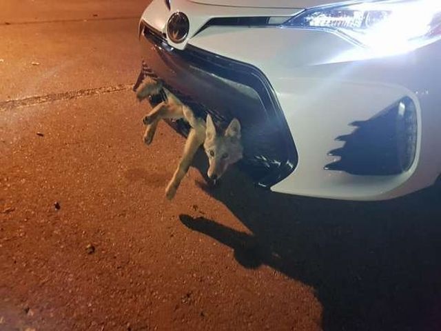 Койот-счастливчик попал под машину, но даже не собирался умирать (2 фото)