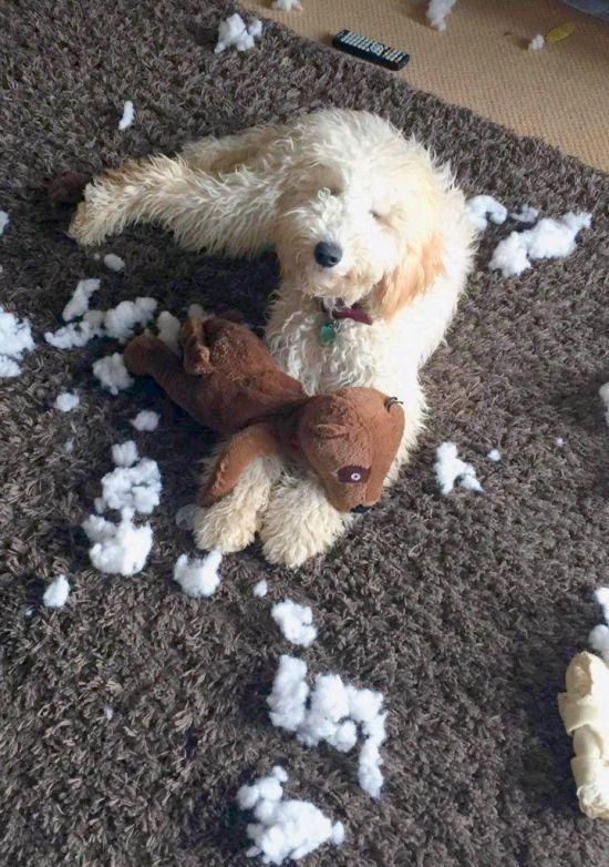 Невинная морда регулярно спасает собаку от заслуженного наказания (5 фото)