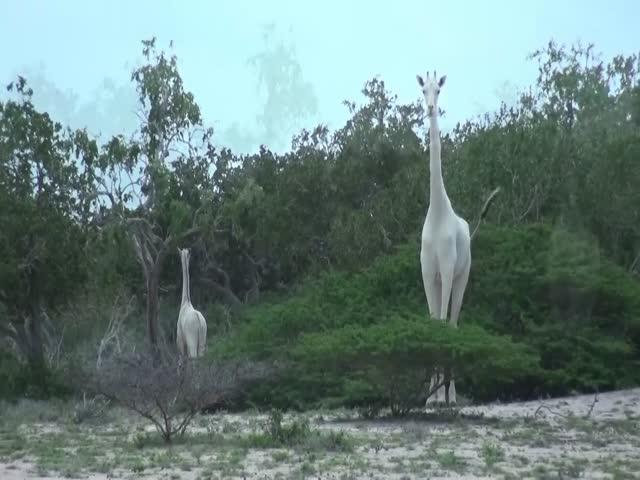 В Кении обнаружены белые жирафы