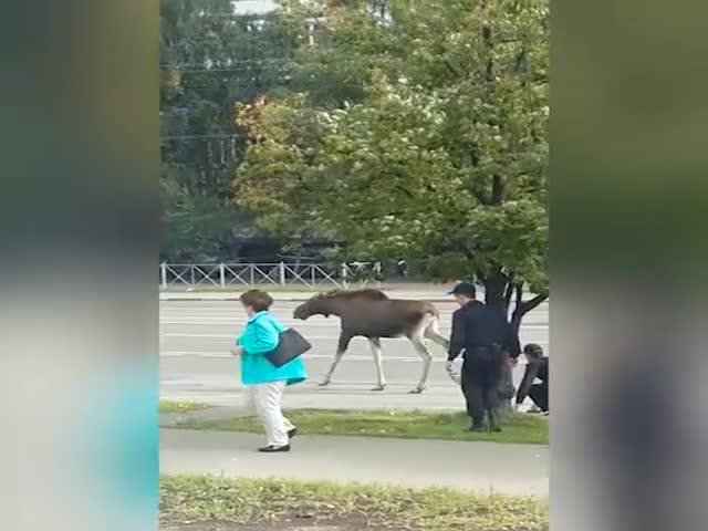 Московские полицейские гонялись за лосем