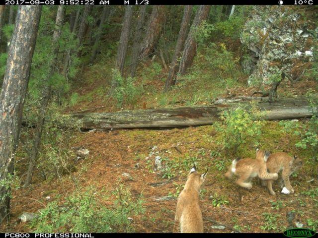 Рысь с детенышами попала в объектив лесной камеры (13 фото)