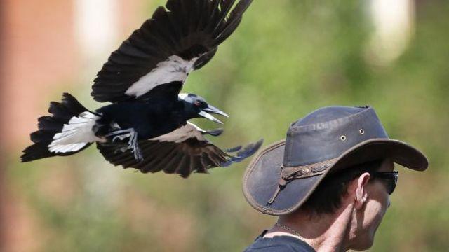 Агрессивные сороки атакуют австралийцев (9 фото + видео)