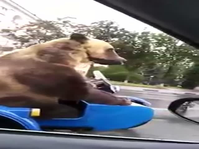 Медведь на мотоцикле на дороге общего пользования