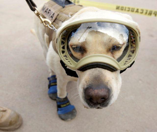 На счету этой собаки десятки спасенных жизней, сделавших ее национальным героем Мексики (4 фото)