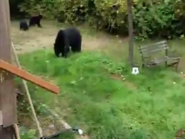 Вежливый канадец попросил медведей покинуть его двор