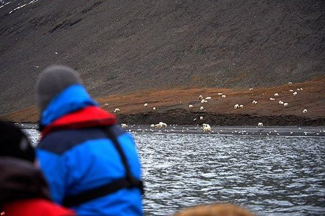 Огромное скопление белых медведей в заповеднике «Остров Врангеля» (6 фото)