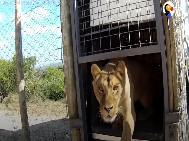 Эмоции больших кошек, которые получили свободу