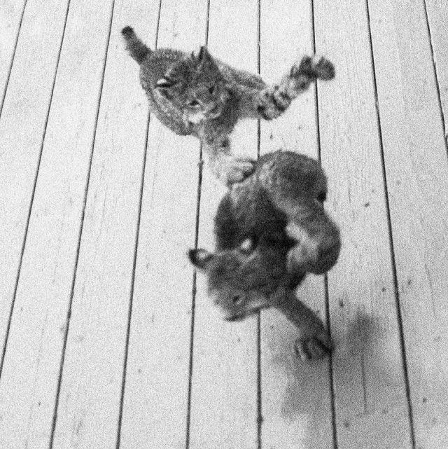 Семейство рысей пришло в гости к жителю Аляски (15 фото)