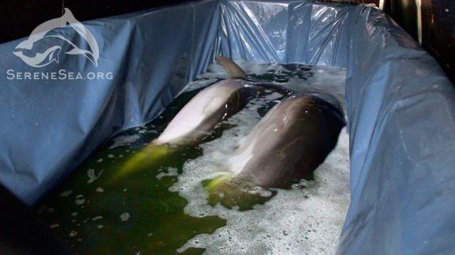 В Крыму из передвижного дельфинария спасли пару дельфинов (11 фото)