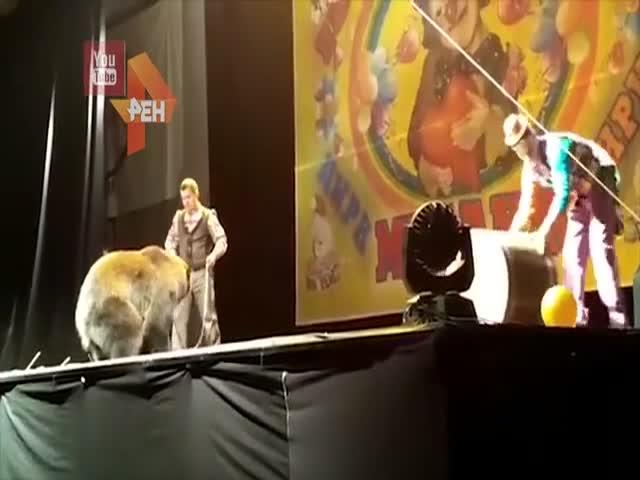 В Сыктывкаре во время представления медведь напал на дрессировщика