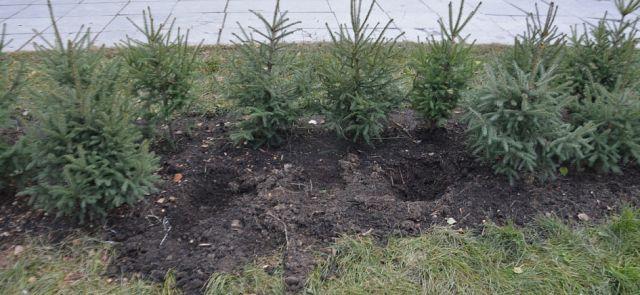 В Барнауле из сквера у Мемориала Славы похитили 22 молодые ели (4 фото)