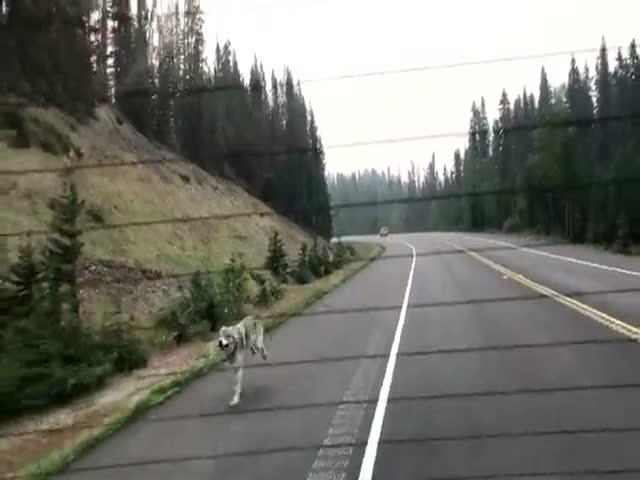 Волк догоняет автомобиль