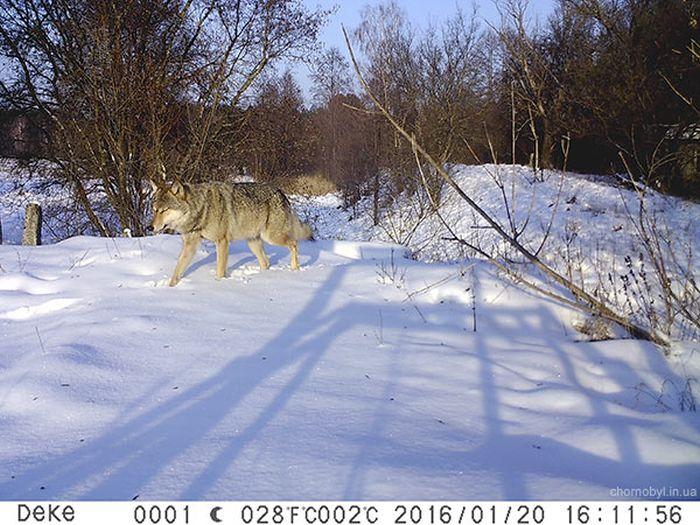 Животный мир в окрестностях Чернобыльской АЭС (54 фото)