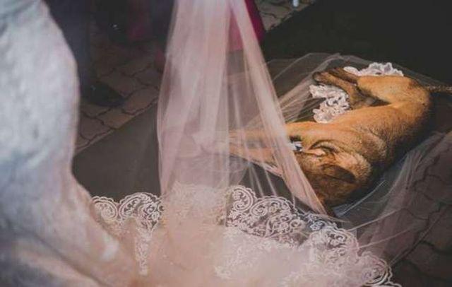 Бездомная собака, едва не испортившая свадьбу, обрела новых хозяев в лице молодоженов (4 фото)