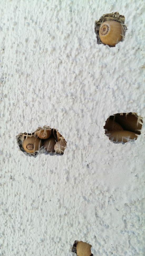 Желудевые дятлы решили обустроить склад желудей в жилом доме (4 фото)