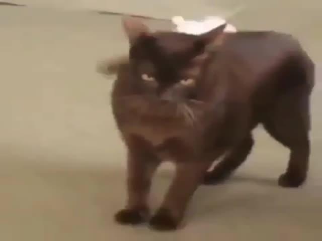 Грациозный кот показывает, кто здесь хозяин