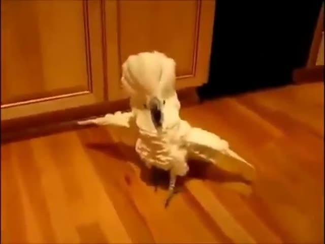 Попугай материт своего хозяина