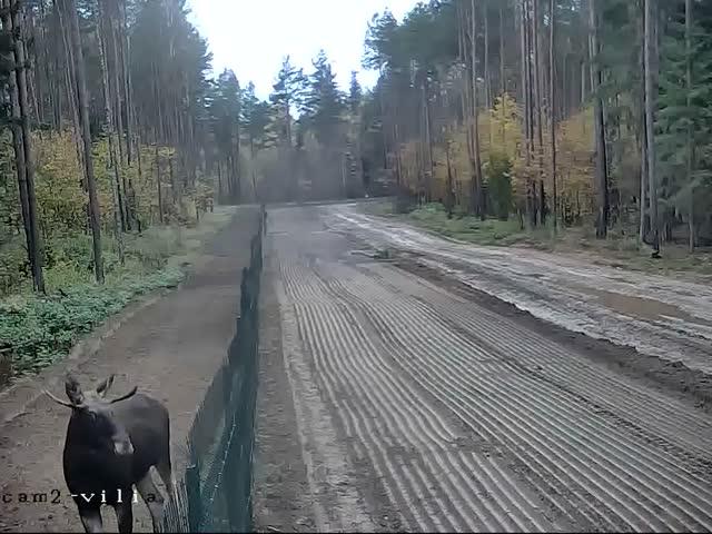 Необычный «нарушитель» белорусско-литовской границы