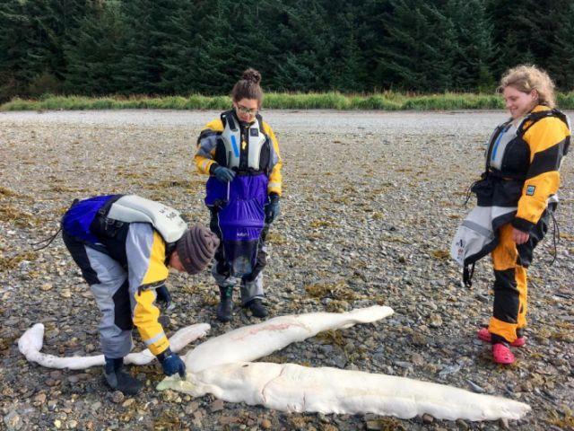 На Аляске обнаружили останки таинственного существа (3 фото)