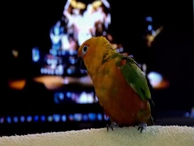 Танец попугая под песню группы Queen