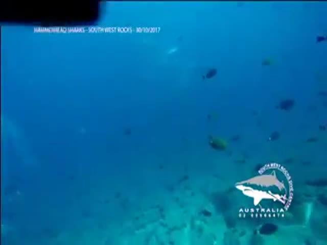 Огромная стая акул-молотов проплыла вблизи аквалангистов