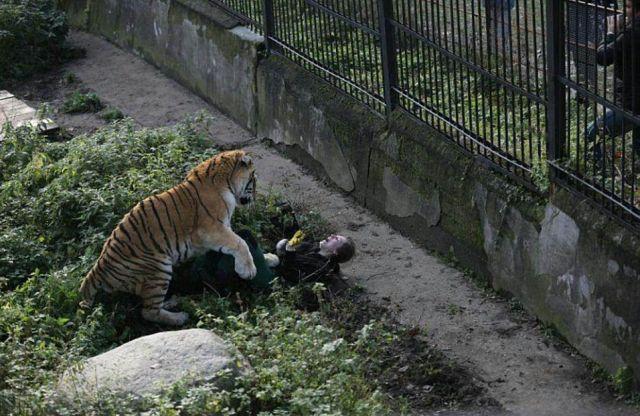 В калининградском зоопарке амурский тигр напал на сотрудницу (2 фото)