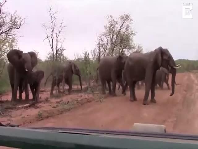 Слоны попытались прогнать туристов, отправившихся на сафари