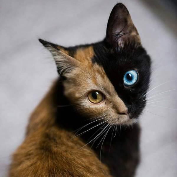Двуликая кошка-химера из Аргентины покоряет всех своим окрасом (11 фото)