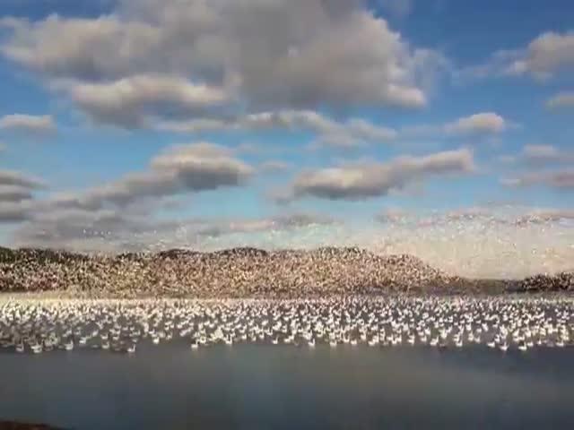 10 000 гусей в небе над Канадой