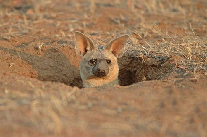 Земляные волки - одни из самых милых хищников на планете (11 фото)