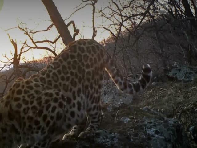 Рык дальневосточного леопарда попал на видео