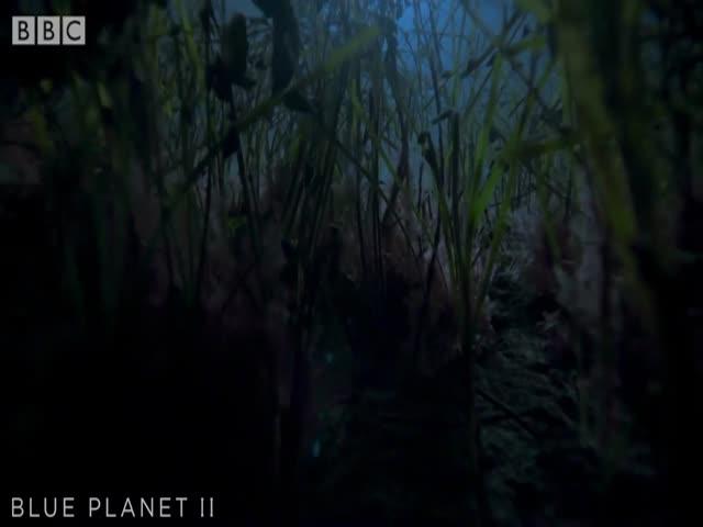 Армия крабов-пауков передвигается по дну
