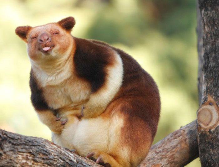 Древесные кенгуру - необычайно милые сумчатые из Австралии (17 фото)