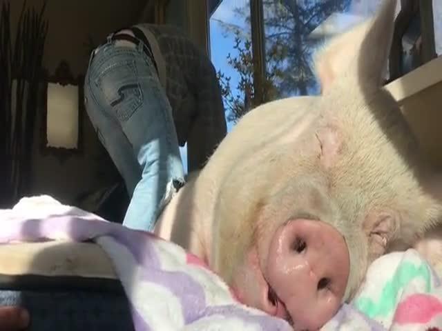 Эта свинья неплохо устроилась