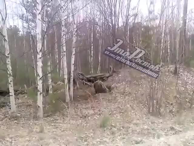 Медведь роет берлогу