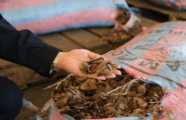 В Китае у браконьеров изъяли 12 тонн чешуи панголинов (8 фото)